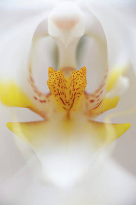 White Orchid Photograph - Open Wide by Sebastian Musial