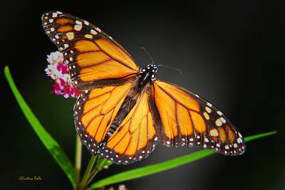 Photograph - Open Wings Monarch Butterfly by Christina Rollo