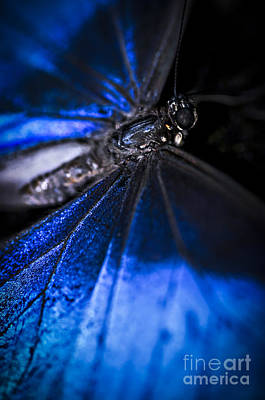 Wings Photograph - Open Wings Of Blue Morpho Butterfly by Elena Elisseeva