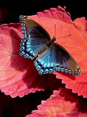 Open Wings Red Spotted Purple Butterfly Original by Rosanne Jordan