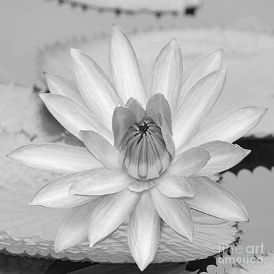 Photograph - Opened Water Lily In Black And White #12 by Sabrina L Ryan