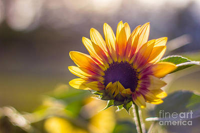 Sunflower Photograph - Awakening Sunflower by Alanna DPhoto