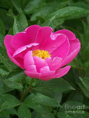 Art Print featuring the photograph Peony  by Eunice Miller
