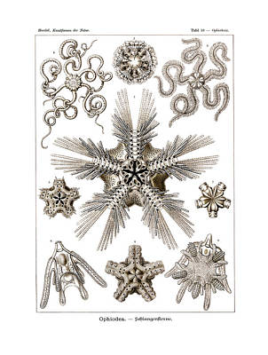 Art In Nature Drawing - Ophiodea by Ernst Haeckel