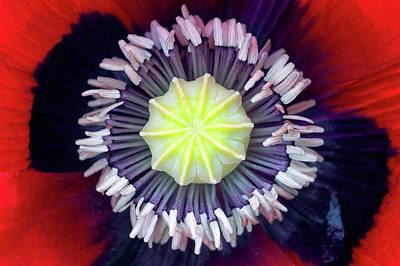 Opium Poppy (papaver Somniferum) Art Print by Dr Jeremy Burgess