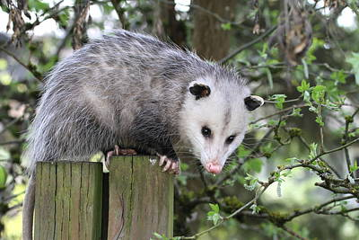 Opossum 2 Art Print by Angie Vogel