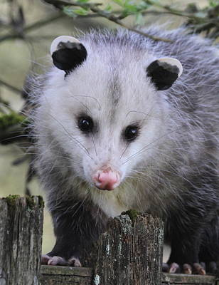 Photograph - Opossum by Angie Vogel