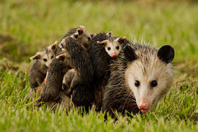 Marsupial Photograph - Opossum Family by Nathaniel Kidd