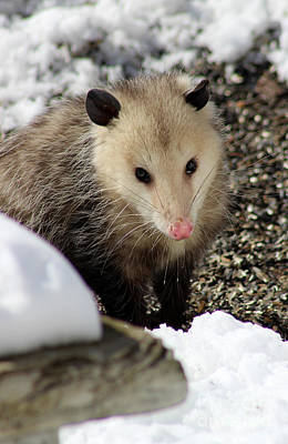 Pointy Ears Photograph - Opossum In Snow by Karen Adams