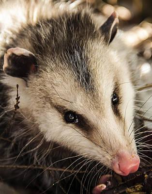 Photograph - Opossum by Melissa Petrey