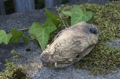 Photograph - Opossum Skull And Ivy On A Mossy Bench by MM Anderson