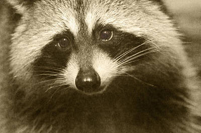 Raccoon Wall Art - Photograph - Opportunist by Susan Capuano