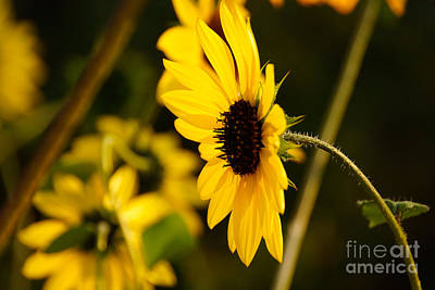 Daisies Photograph - Opposite To The Sun by Gloria Pasko