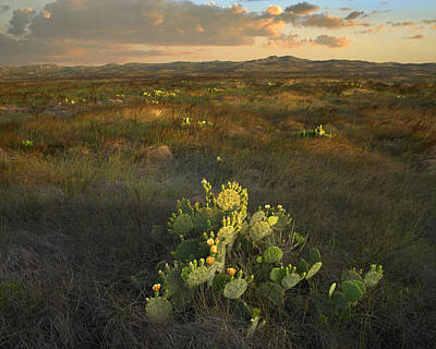 Cactaceae Photograph - Opuntia Cacti Mustang Island State Park by Tim Fitzharris
