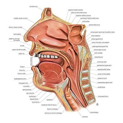 Oral Cavity And Pharynx Art Print
