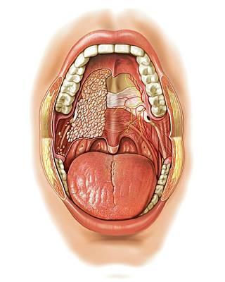 Oral Cavity Print by Asklepios Medical Atlas
