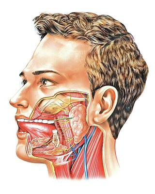 Oral Glands Print by Asklepios Medical Atlas