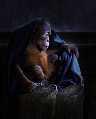 Orang Utan Youngster With Blanket Art Print