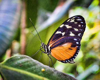 Photograph - Orange Adorned Butterfly by Bill Pevlor