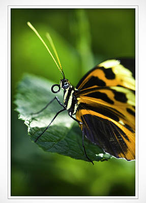Photograph - Orange And Black Butterfly by Donald Brown