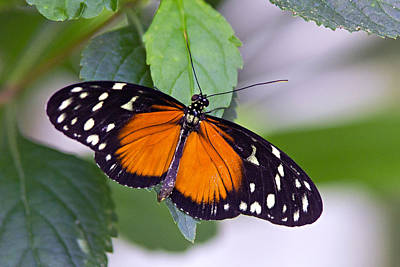 Photograph - Orange And Black Butterfly by Vanessa Valdes