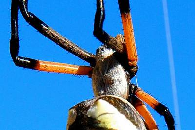Photograph - Orange And Black Spider Legs by Marilyn Burton