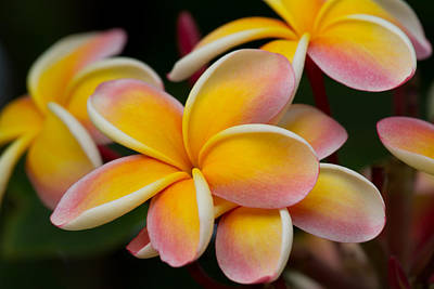 Orange And Pink Plumeria Art Print