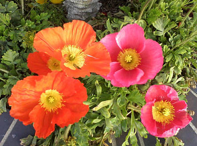 Photograph - Orange And Pink Poppies by Shan Ungar