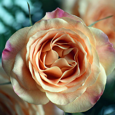Photograph - Orange And Purple Rose Square Macro by Connie Fox