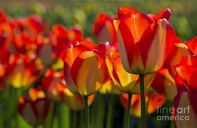 Photograph - Orange And Yellow Tulips by Sonya Lang