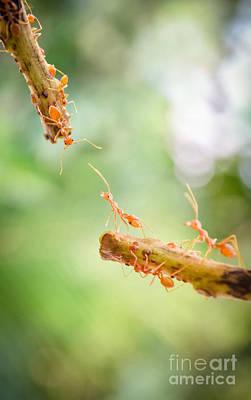Orange Ants Original