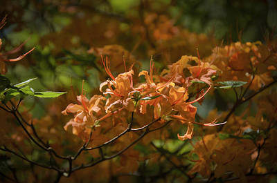 Photograph - Orange Azaleas by Penny Lisowski