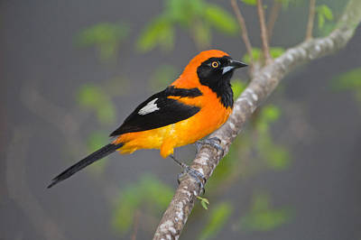 Three Brothers Photograph - Orange-backed Troupial Icterus by Panoramic Images