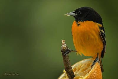 Orchard Photograph - Orange Baltimore Oriole by LeeAnn McLaneGoetz McLaneGoetzStudioLLCcom
