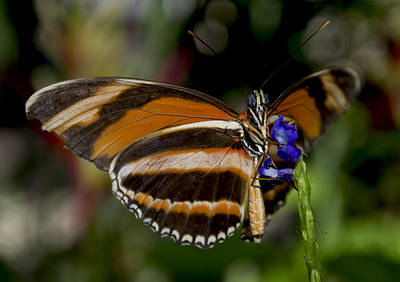 Photograph - Orange Banded Butterfly by Heather Applegate