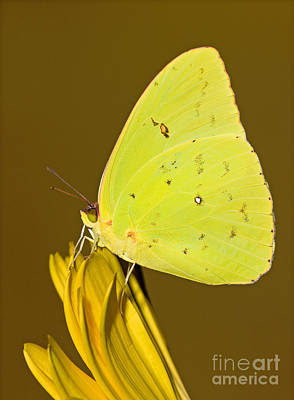 Photograph - Orange Barred Sulfur Butterfly by Millard H Sharp