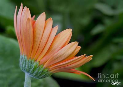 Photograph - Orange Beauties by Wanda Krack