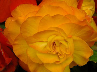 Photograph - Orange Begonia by Gene Cyr