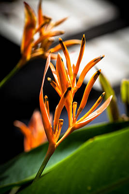 Photograph - Orange Bloom by Carole Hinding