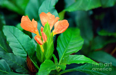 Photograph - Orange Blossoms by Jackie Farnsworth