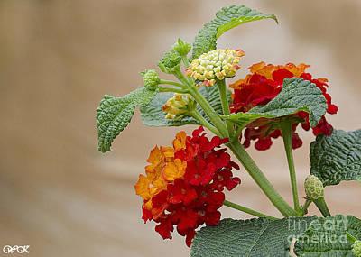 Photograph - Orange Blossoms by Wanda Krack