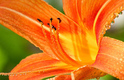 Photograph - Orange Burst by Michael Dorn