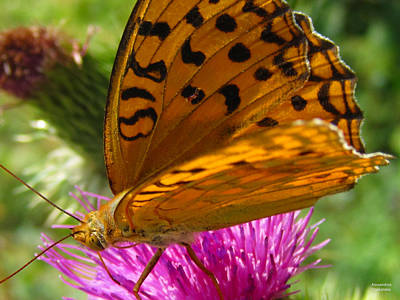 Photograph - Orange Butterfly by Alexandros Daskalakis