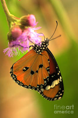 Photograph - Orange Butterfly by Jeremy Hayden