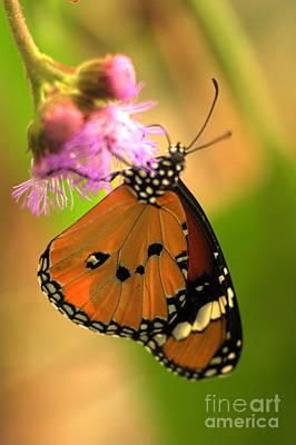 Photograph - Orange Butterfly by Jeremy Hayden