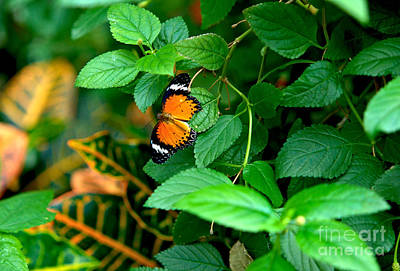 Photograph - Orange Butterfly by Matthew Naiden