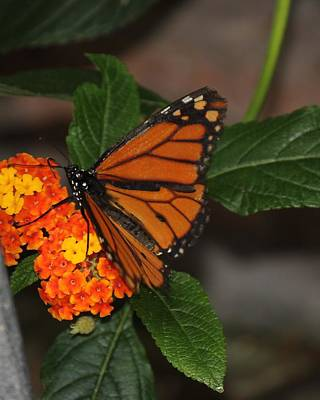 Art Print featuring the photograph Orange Butterfly On Flowers by Bill Woodstock