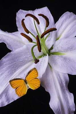 Orange Butterfly On Lily Art Print