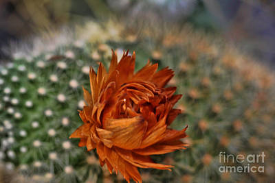 Photograph - Orange Cactus Bloom by Audreen Gieger