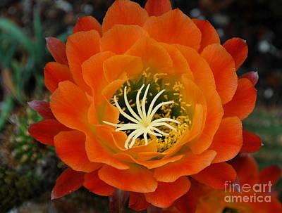 Botanic Photograph - Orange Cactus Flower by Nancy Mueller